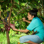 woman farmer hold red cacao pod on tree